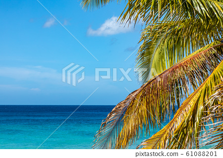 Trinidad, Cuba. Coconut on an exotic beach with palm tree 61088201