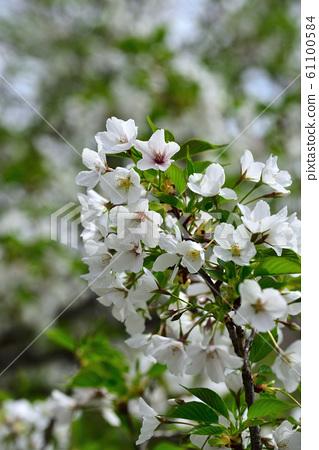 樱桃树 61100584
