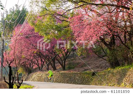 盛開的櫻花,猩紅色的櫻花,山上的櫻花,無人駕駛汽車的騎士背影,台北樹籬 61101850