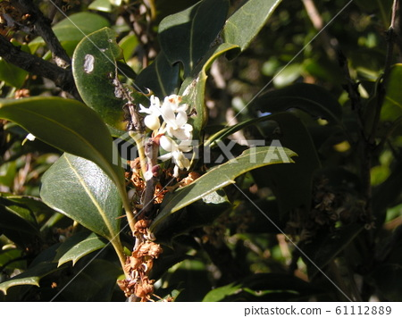 Holly white flowers with white flowers blooming in winter 61112889