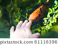 colourful kois fish eating from hand orange and black 61116396