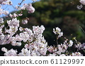 Beautiful cherry blossoms 61129997