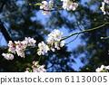 Beautiful cherry blossoms 61130005