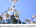 Beautiful cherry blossoms 61130006