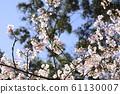 Beautiful cherry blossoms 61130007