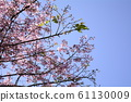 Beautiful cherry blossoms 61130009