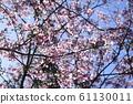 Beautiful cherry blossoms 61130011