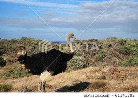 남아공 희망곶 근처 대서양 바닷가 풀숲에서 만난 숫컷 타조 한 마리 61141385