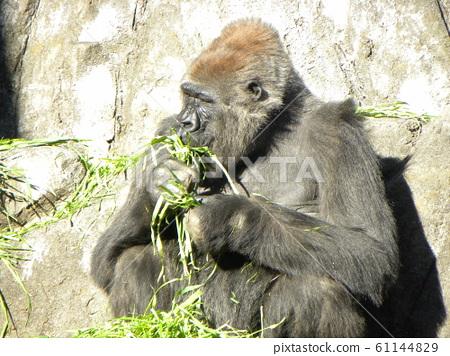 ลิงกอริลลาตะวันตกที่สวนสัตว์ชิบะ 61144829