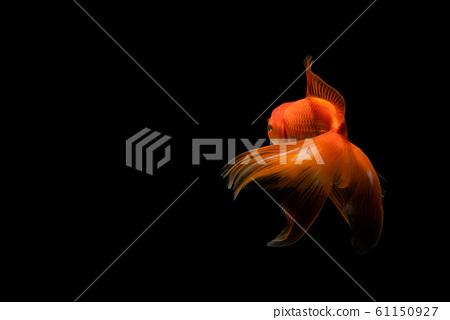 goldfish isolated on a dark black background 61150927