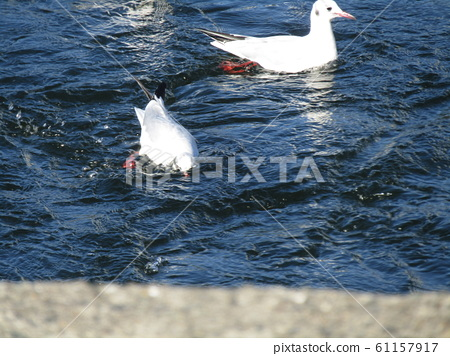 이나 게 해변 공원 연못의 해안을 유영중인 겨울 철새 유리카모메 61157917