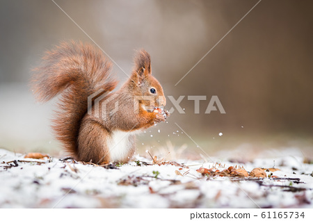 Wild red squirrel holding a nut in park and standing on snow 61165734