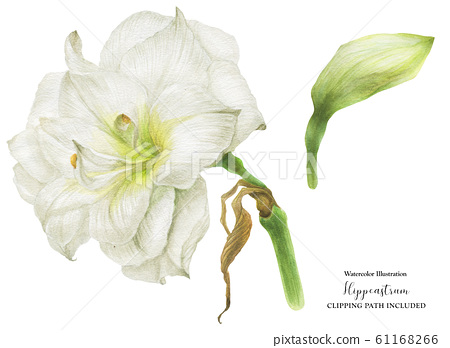 Hippeastrum watercolor flower and bud 61168266