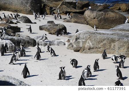 남아공 볼더스비치 해변 바위와 모래에서  놀고있는 자카스펭귄 무리 풍경 61177391