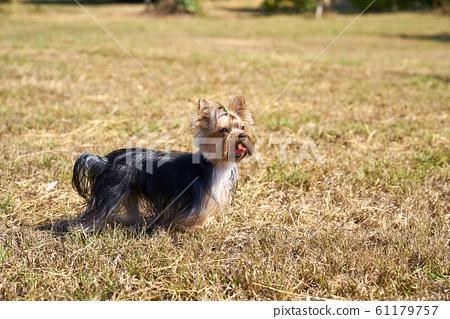 Yorkshire terrier 61179757