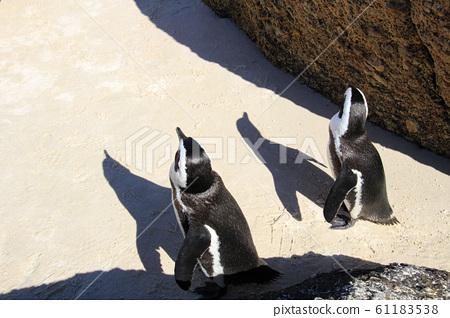 남아공 볼더스비치 해변 바위사이 모래위를 짝지어 걷는 펭귄 61183538