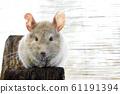 老鼠龍貓 61191394