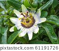 Flower Passiflora incarnata, wild apricot, and wild passion vine 61191726