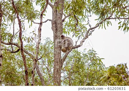 Australian Koala In Natural Habitat 61203631