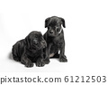 couple of little canecorso puppy isolated on white background in isolation closeup 61212503