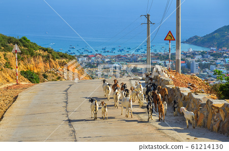 Goats walking on the rural road in summer day 61214130