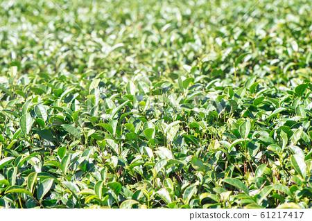 茶葉種植園花園休閒場茶園 61217417