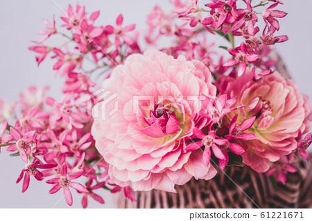 粉紅色毛茛屬植物 61221671
