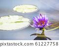 睡蓮,睡蓮,水生植物,生物群落,羊草 61227758