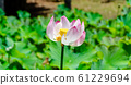 Close-up view of pink lotus bloom partly faded 61229694