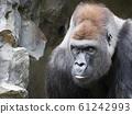 Gorilla, a portrait 61242993