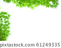 신록 단풍 단풍 나무 61249335