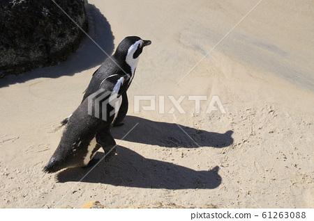 케이프타운 바닷가 하얀 모래위를 다정하게 바짝 붙어 걸어가는 자카스펭귄 두 마리 61263088