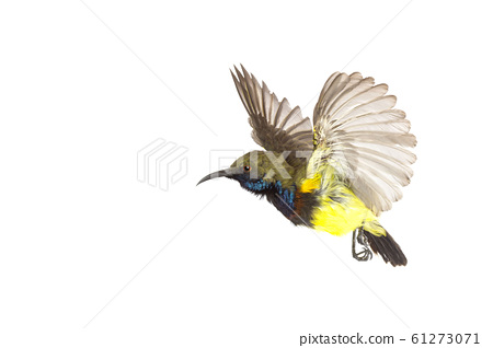 Beautiful flying Bird (Olive-backed Sunbird) 61273071