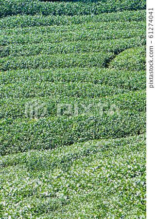茶葉種植園花園休閒場茶園 61274041