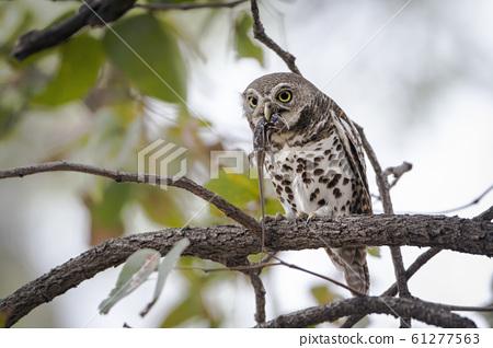 African barred owlet in Kruger National park, 61277563