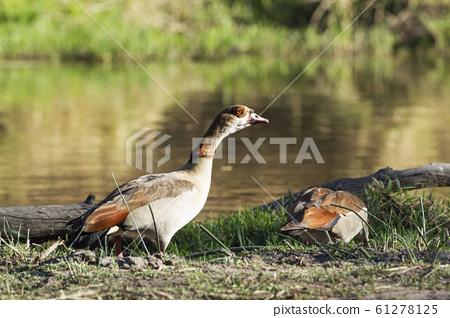 Egyptian Goose in Kruger National park, South 61278125