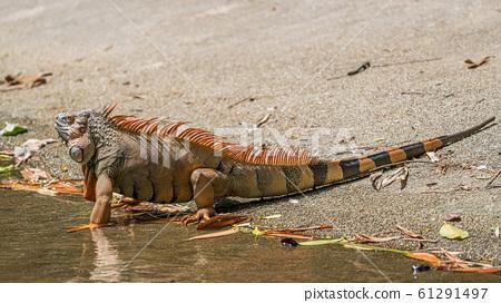 綠鬣蜥變成橙色 61291497