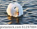 White swan on lake background. Wildlife in Austria. 61297884
