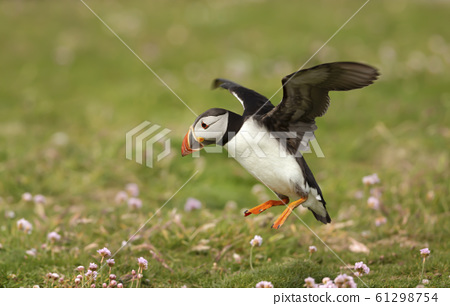 Atlantic puffin landing with the open wings 61298754
