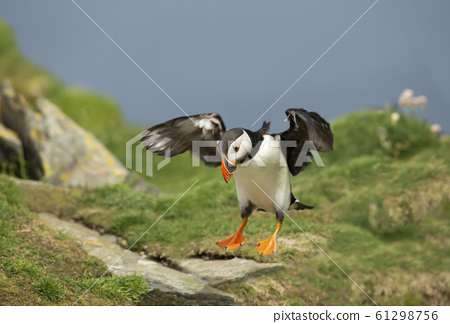 Close up of an Atlantic puffin in flight 61298756