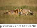 Close up of two playful Red foxes 61298781