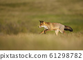 Close up of a red fox running in the field of grass 61298782