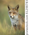 Close up of a red fox sitting in grass 61298783
