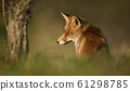Close up of a Red fox sitting in grass 61298785