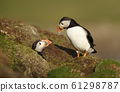 Courtship ritual of Atlantic puffins next to a burrow 61298787