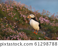 Atlantic puffin standing in pink thrift 61298788
