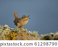 Shetland wren calling on a mossy stone 61298790
