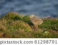 European herring gull chick standing by the nest 61298791