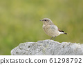 Northern wheatear perched on a rock 61298792