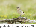 Northern wheatear juvenile perched on a rock 61298793